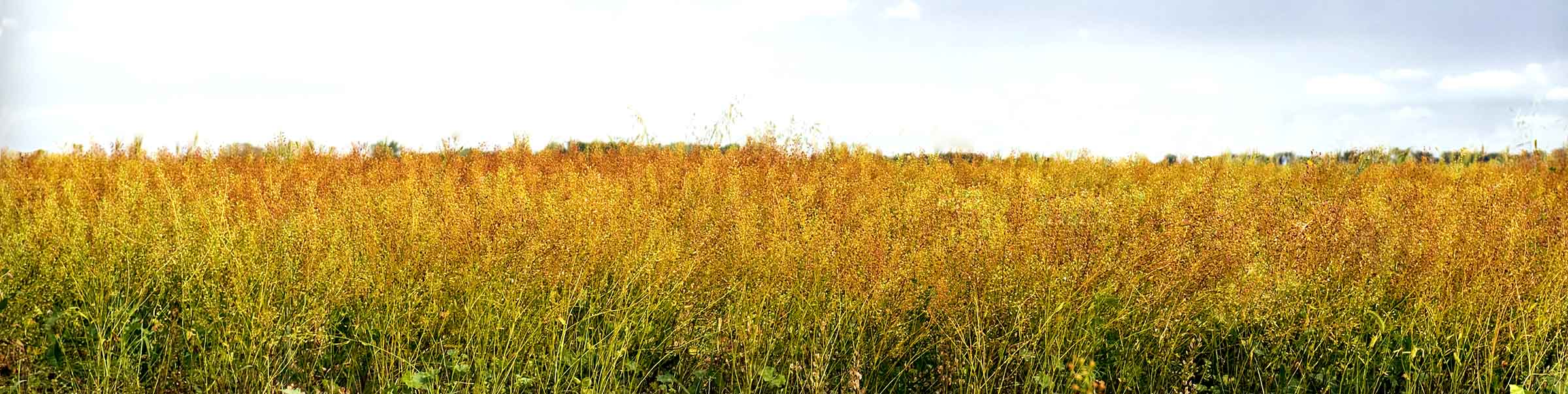 Field of camelina